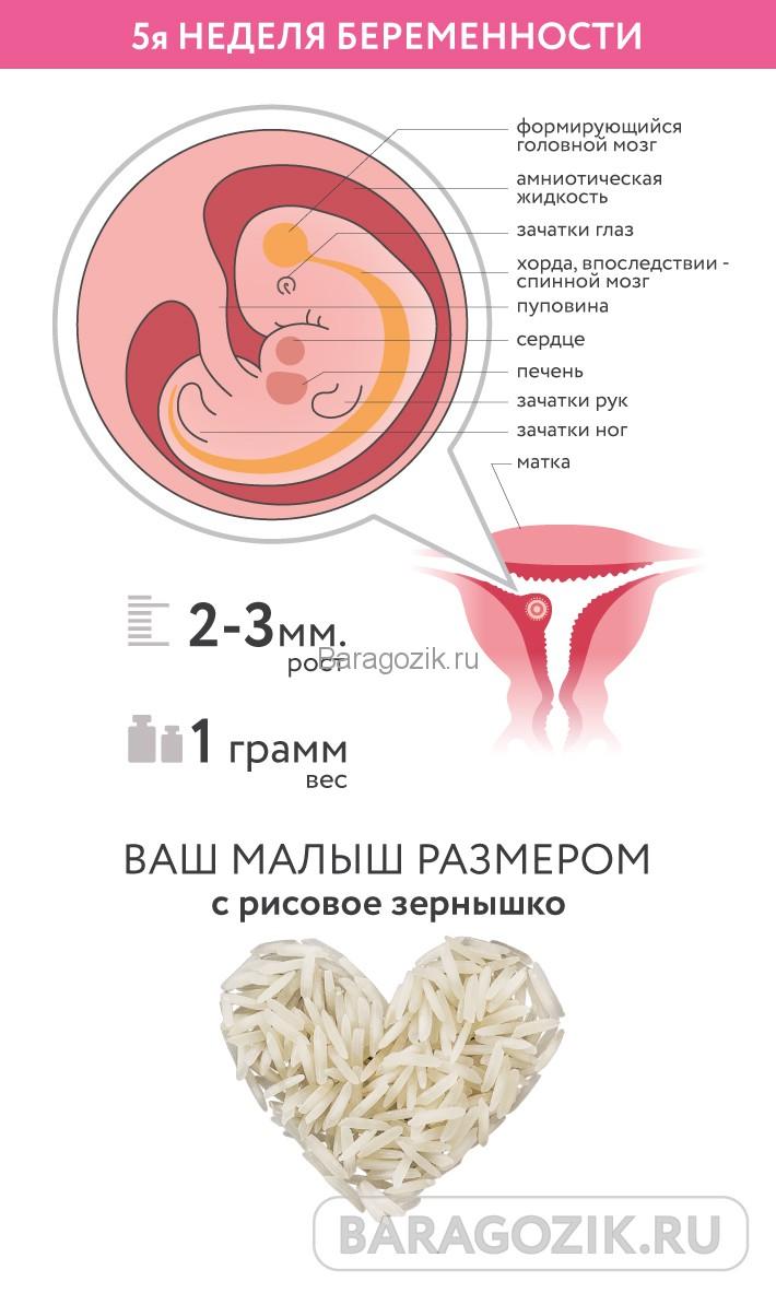 5 неделя беременности