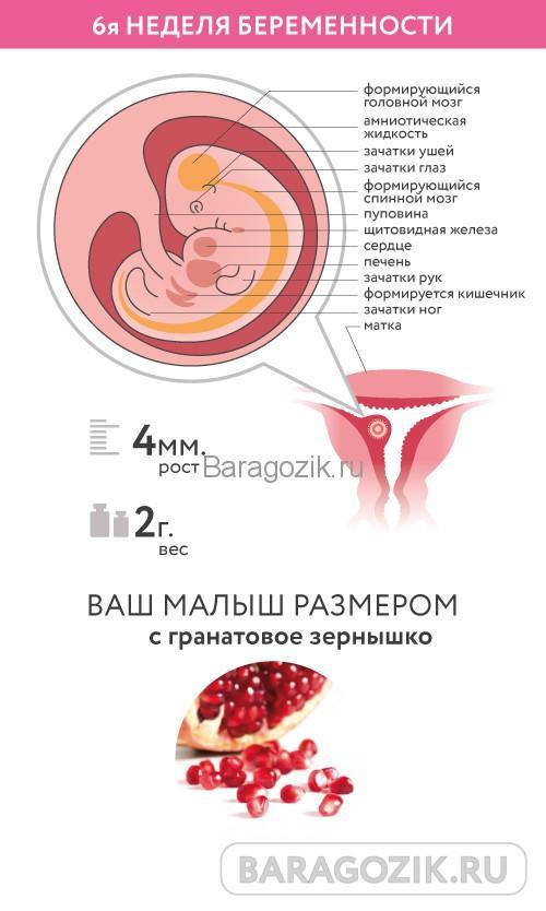 Развитие ребенка на 6 акушерской неделе беременности