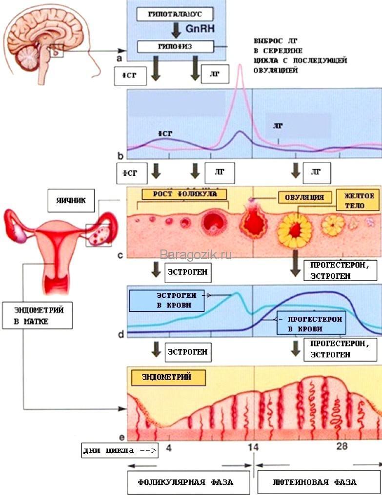 Схема роста фолликулов и формирование яйцеклетки в менструальном цикле женщины