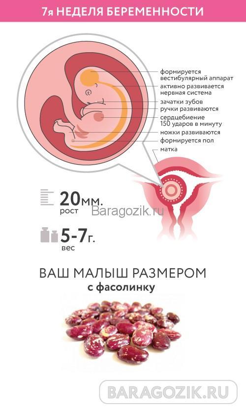 Развитие ребенка на 7 акушерской неделе беременности
