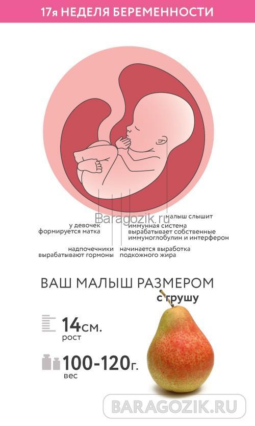 Как выглядит ребенок на 17 неделе беременности акушерского срока