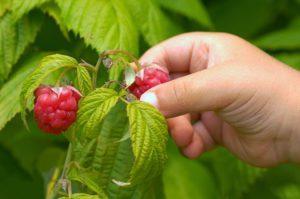 как учить делей отличать ядовитые ягоды от съедобных